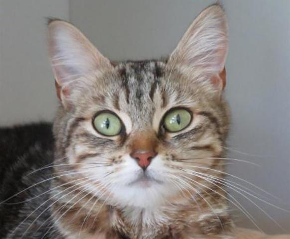 crispies chaton crois autre europeen adopter dans la r gion bretagne. Black Bedroom Furniture Sets. Home Design Ideas