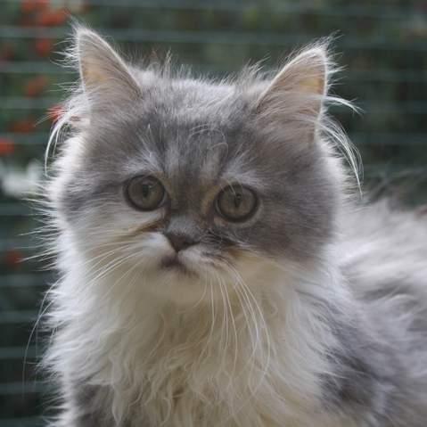 elton chaton crois persan adopter dans la r gion ile de france. Black Bedroom Furniture Sets. Home Design Ideas