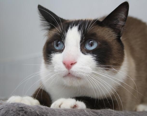 Fuji : chat croisé ragdoll à adopter dans la région Ile de