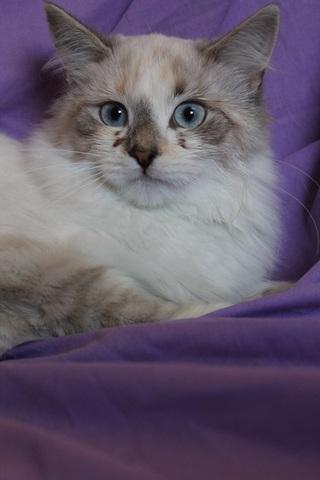 Superbe Chat siamois angora chaton blanc a donner | Villaviedebie @CS_36