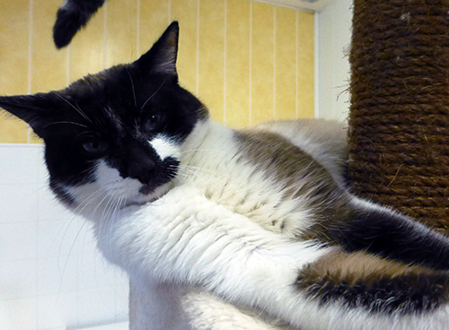 doug chat crois siamois adopter dans la r gion rh ne alpes. Black Bedroom Furniture Sets. Home Design Ideas