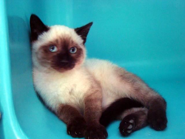romeo chaton crois siamois adopter dans la r gion