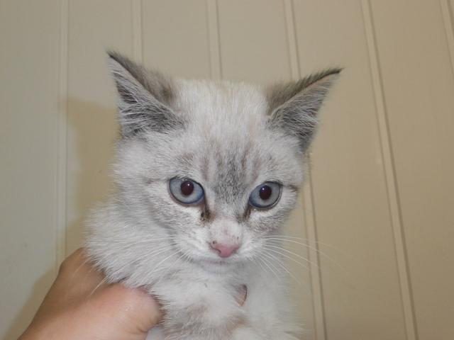 Assez Blue : chaton croisé siamois à adopter dans la région Nord Pas de  PJ99