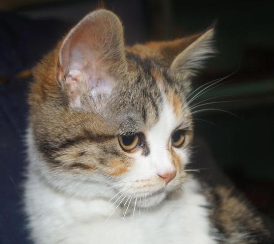 roxie chat crois e persan adopter dans la r gion pays de la loire. Black Bedroom Furniture Sets. Home Design Ideas
