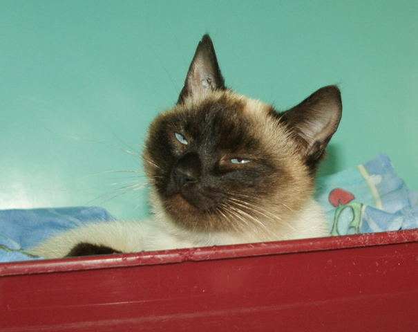 fifi chat crois e siamoise adopter dans la r gion pays de la loire. Black Bedroom Furniture Sets. Home Design Ideas