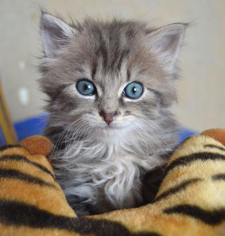 daphn e et olaf chatons chaton euop en adopter dans la r gion centre. Black Bedroom Furniture Sets. Home Design Ideas