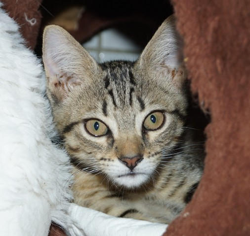 chatons chaton europ en adopter dans la r gion ile de france. Black Bedroom Furniture Sets. Home Design Ideas