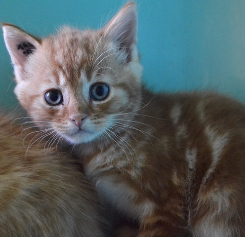 3 chatons roux chaton europ en adopter dans la r gion centre. Black Bedroom Furniture Sets. Home Design Ideas