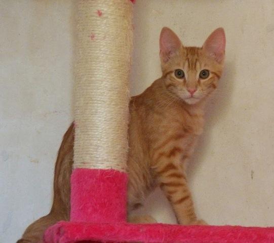 Jet chaton male roux chaton europ en adopter dans la r gion rh ne alpes - Combien de temps un chat peut disparaitre ...