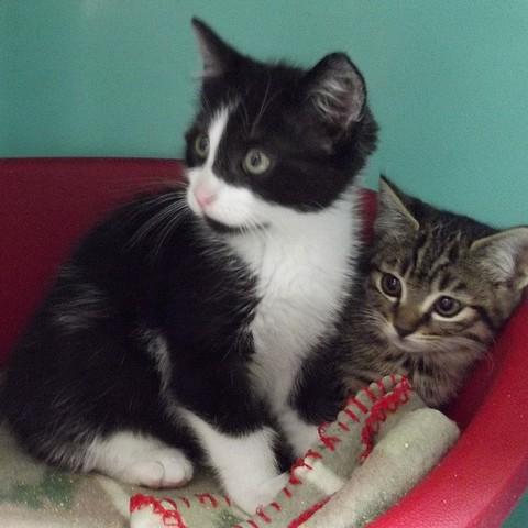 gunzo chaton chaton europ en adopter dans la r gion ile de france. Black Bedroom Furniture Sets. Home Design Ideas
