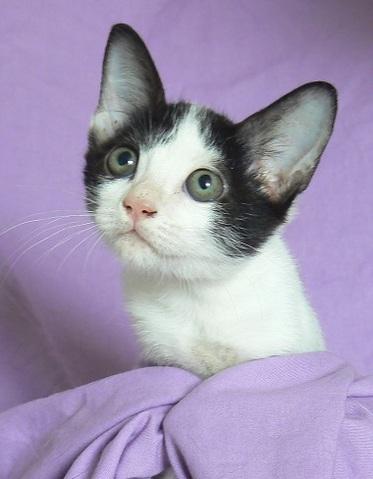 jobi chaton chaton europ en adopter dans la r gion ile de france. Black Bedroom Furniture Sets. Home Design Ideas