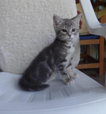 lilou en famille d 39 accueil chaton europ en adopter dans la r gion rh ne alpes. Black Bedroom Furniture Sets. Home Design Ideas