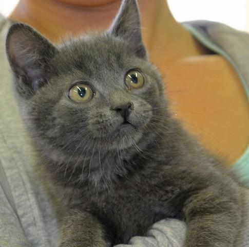 chaton gris chaton europ en adopter dans la r gion centre. Black Bedroom Furniture Sets. Home Design Ideas