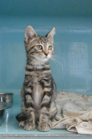 Aspirine : chaton européen à adopter dans la région ... Selkirk Rex Atlanta