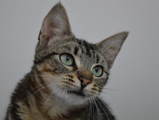 mildred cha6982 chaton europeen adopter dans la r gion ile de france. Black Bedroom Furniture Sets. Home Design Ideas