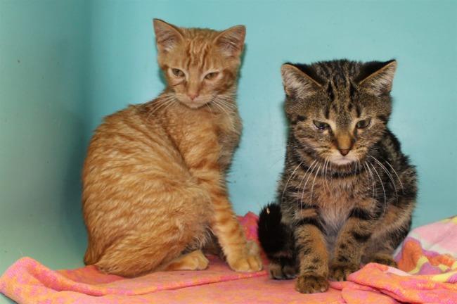 guy pab15869 chaton europeen adopter dans la r gion ile de france. Black Bedroom Furniture Sets. Home Design Ideas