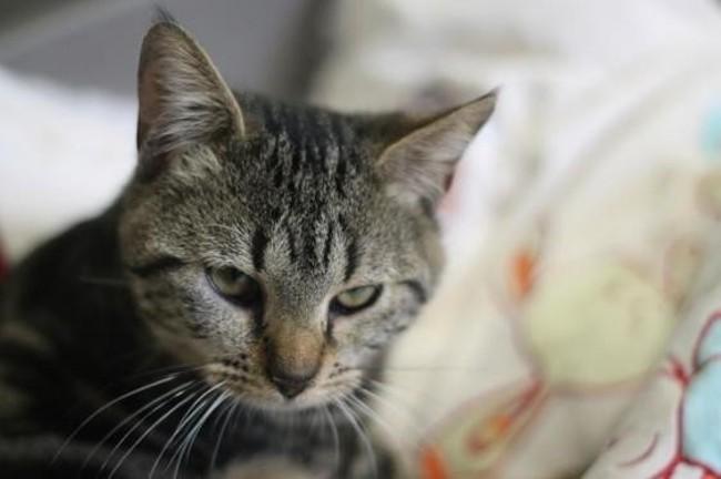aramis chaton europeen adopter dans la r gion ile de france. Black Bedroom Furniture Sets. Home Design Ideas