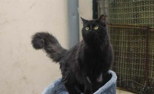 Gisele chat europeenà adopter dans la région Centre # Spa Chilleurs Au Bois