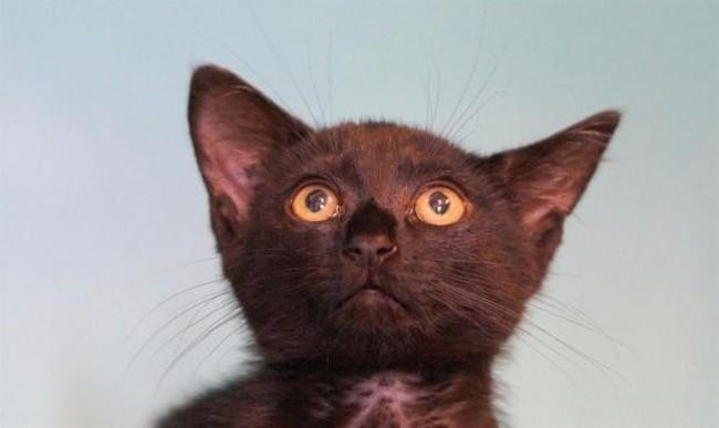 pixie chaton europeen adopter dans la r gion pays de la loire. Black Bedroom Furniture Sets. Home Design Ideas