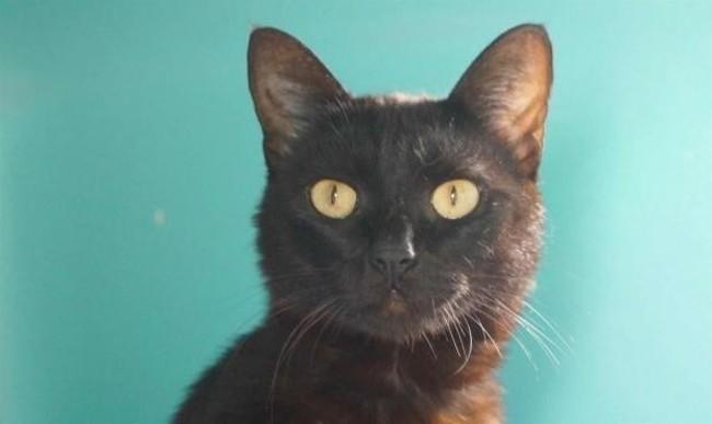 bulle chat europeen adopter dans la r gion pays de la loire. Black Bedroom Furniture Sets. Home Design Ideas