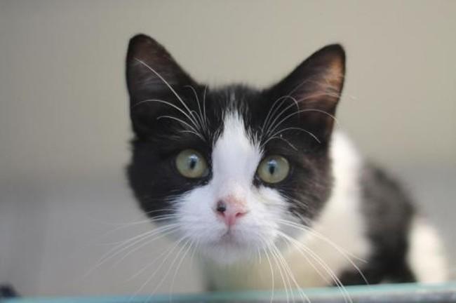 groseille chaton europeen adopter dans la r gion ile de france. Black Bedroom Furniture Sets. Home Design Ideas