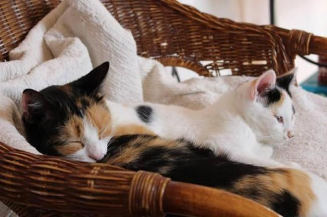 ellie reservee chat europeen adopter dans la r gion aquitaine. Black Bedroom Furniture Sets. Home Design Ideas