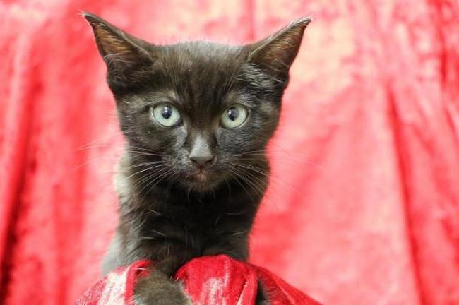 toum hab11990 chaton europeen adopter dans la r gion ile de france. Black Bedroom Furniture Sets. Home Design Ideas