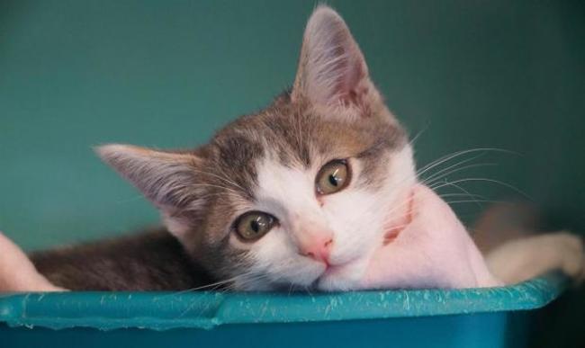 toblerone chaton europeen adopter dans la r gion pays de la loire. Black Bedroom Furniture Sets. Home Design Ideas