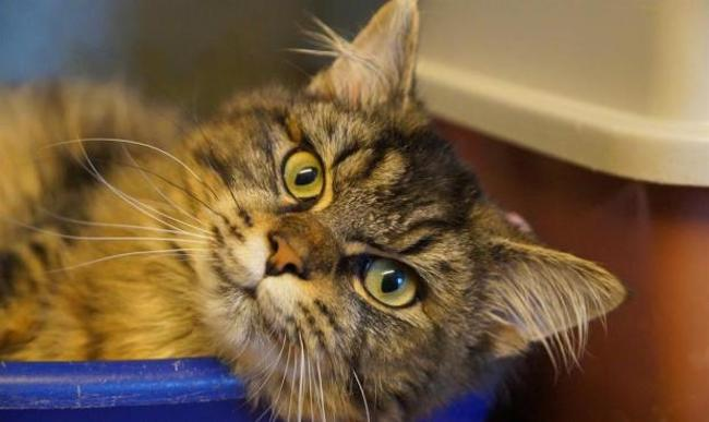 kookai chat europeen adopter dans la r gion pays de la loire. Black Bedroom Furniture Sets. Home Design Ideas