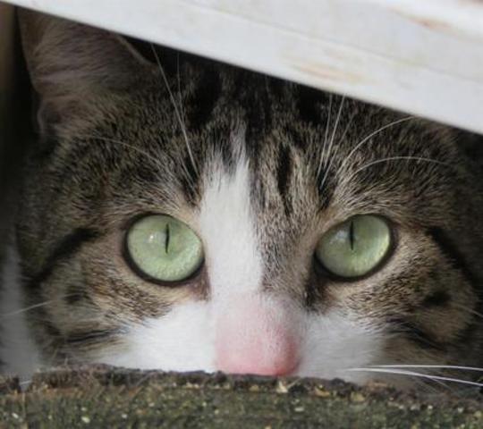 olympe chat europeen adopter dans la r gion lorraine. Black Bedroom Furniture Sets. Home Design Ideas