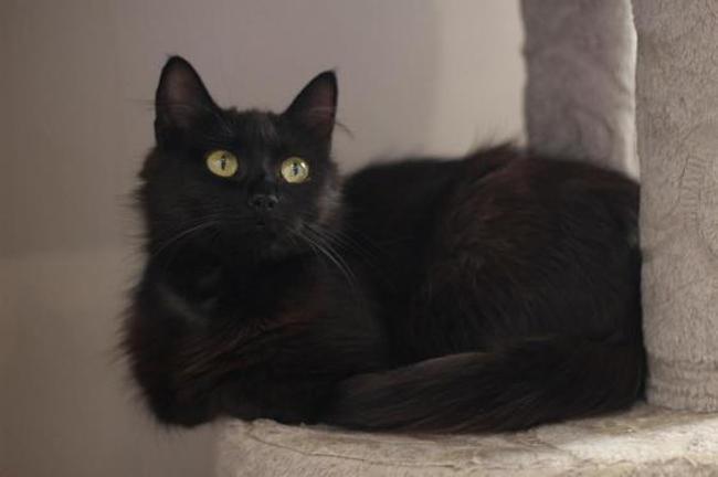 bielka chat europeen adopter dans la r gion aquitaine. Black Bedroom Furniture Sets. Home Design Ideas
