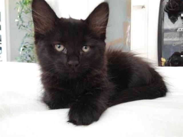Pepper Chaton Europeen A Adopter Dans La Region Aquitaine