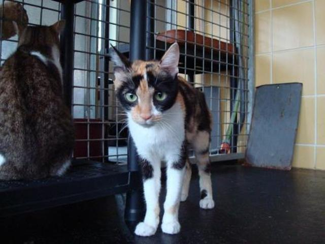 Isabelle Chaton Europeen A Adopter Dans La Region Midi Pyrenees