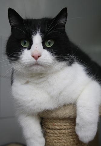 snowblade chat europ en adopter dans la r gion ile de france. Black Bedroom Furniture Sets. Home Design Ideas