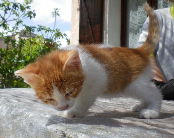 Petit chat chaton europ en adopter dans la r gion - Image de petit chat ...