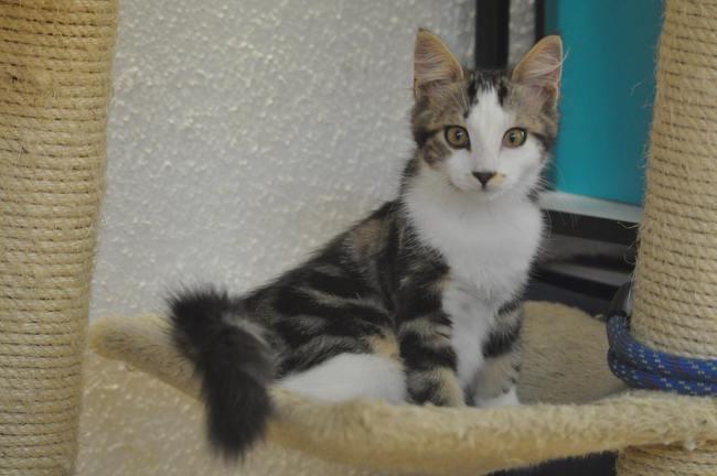 Ina  chaton femelle, Chaton européen à adopter
