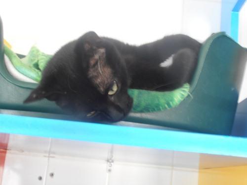 cendre la pot de colle chat europeen 224 adopter dans la r 233 gion pays de la loire