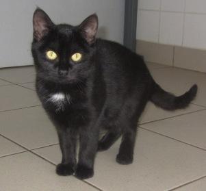 corniche chaton europ en adopter dans la r gion bretagne. Black Bedroom Furniture Sets. Home Design Ideas
