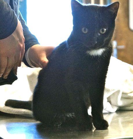 albator chat europ en adopter dans la r gion pays de la loire. Black Bedroom Furniture Sets. Home Design Ideas