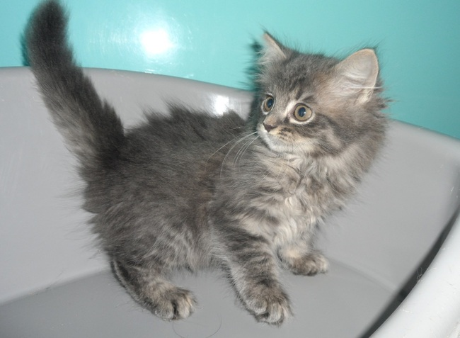 angora chat sites Anidonne est le site de petites annonces n°1 pour donner, adopter, vendre un animal de compagnie, chien , chiot , chat , chaton, lapin.