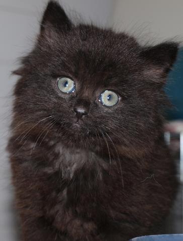 siamis 2mois poil long chaton europeen poils longs adopter dans la r gion bretagne. Black Bedroom Furniture Sets. Home Design Ideas