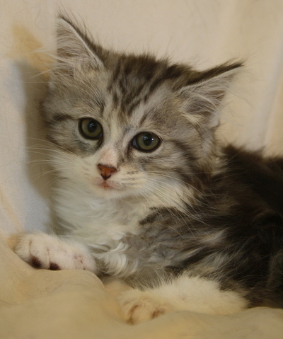 adopter maine coon