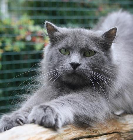 loo chat europ en poils mi longs adopter dans la r gion ile de france. Black Bedroom Furniture Sets. Home Design Ideas