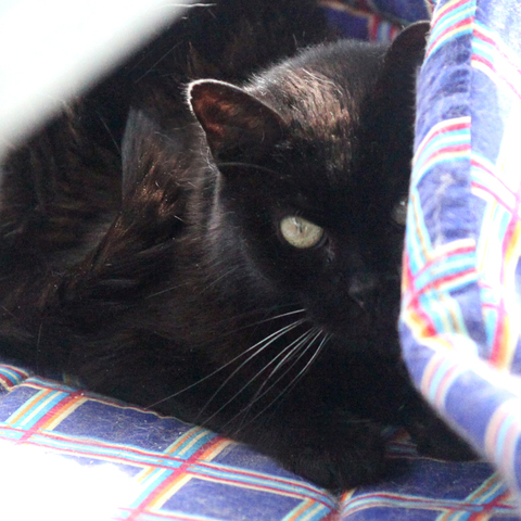 coquine chat europ enne adopter dans la r gion ile de france. Black Bedroom Furniture Sets. Home Design Ideas