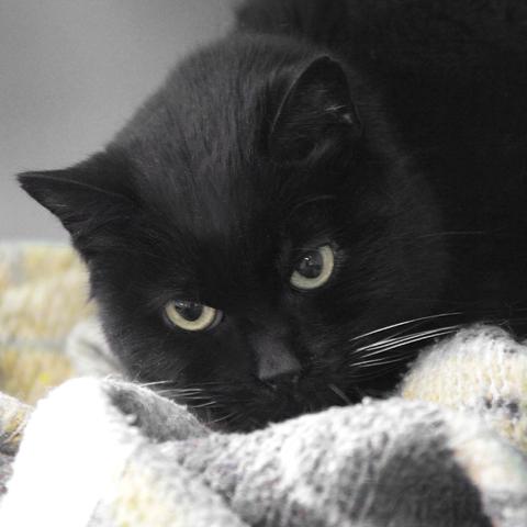 coquine en fa chat europ enne adopter dans la r gion ile de france. Black Bedroom Furniture Sets. Home Design Ideas