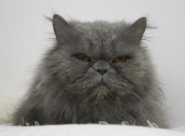 saphir chat persan adopter dans la r gion ile de france. Black Bedroom Furniture Sets. Home Design Ideas
