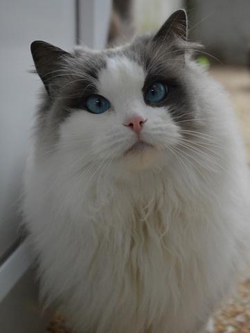 Eternity : chat ragdoll à adopter dans la région Ile de France