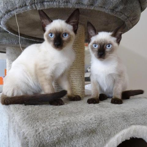 Populaire Chaton siamois a adopter - Annonces chatons HO37
