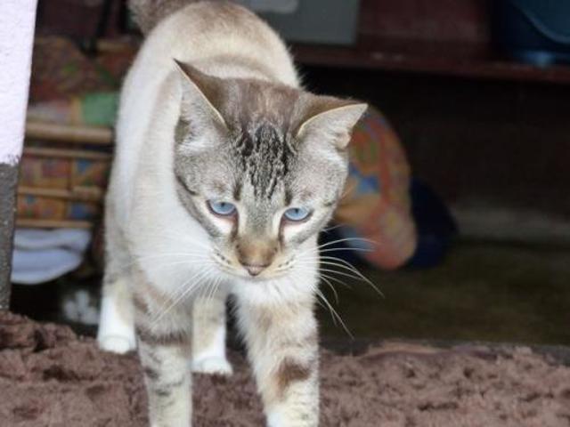 Assez Tabby : chat siamois à adopter dans la région Pays de la Loire PJ99