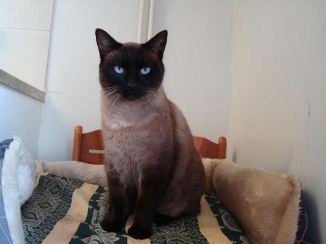 Assez Confortis : chat siamois à adopter dans la région Midi Pyrénées PJ99